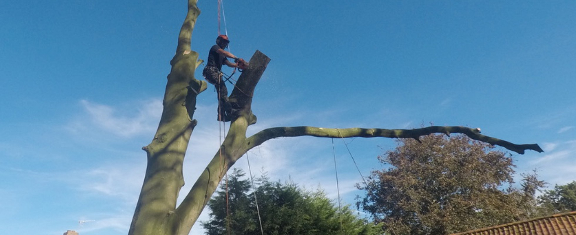 Andrew Turff up a tree while felling it using the sectional dismantling method.